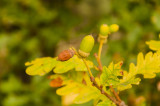 10 Quercus Petraea / Sessile Oak Trees, 2-3ft Tall, Native to UK and Europe