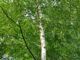 4 Silver Birch 6-8ft Stunning  Mature Specimen Trees, Betula Pendula 200cm