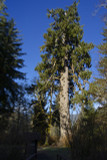 5 Sitka Spruce 30-50cm Tall, Picea Sitchensis, The Largest Spruce in the World