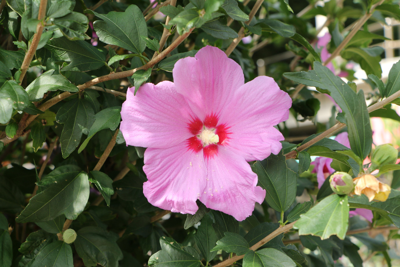 1 hibiscus syriacus rose of sharon 40 60cm tall. Black Bedroom Furniture Sets. Home Design Ideas