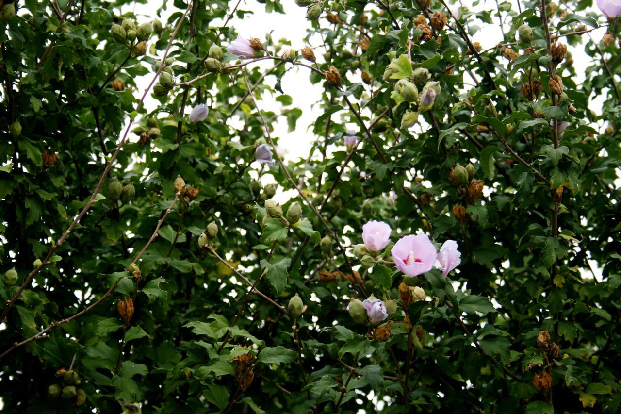 1 Hibiscus Syriacus / Rose of Sharon, 40-60cm Tall, Stunning Korean ...