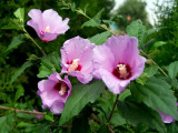 3 Hibiscus Syriacus / Rose of Sharon, 40-60cm Tall, Stunning Korean Rose