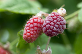 1 Loganberry / Rubus × loganobaccus, Sweet & Large Fruit, 30-40cm Tall