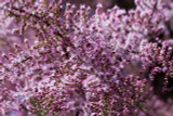 Tamarix tetrandra / Tamarisk / Salt Cedar, 3-4ft Tall, Stunning Flowering Shrub