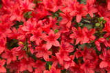 Azalea Addy Wery / Rhododendron 'Addy Wery' 20-30cm Tall In 2L Pot