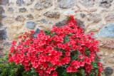 Azalea Japonica Stewartstown / Rhododendron  20-30cm Tall In 2L Pot