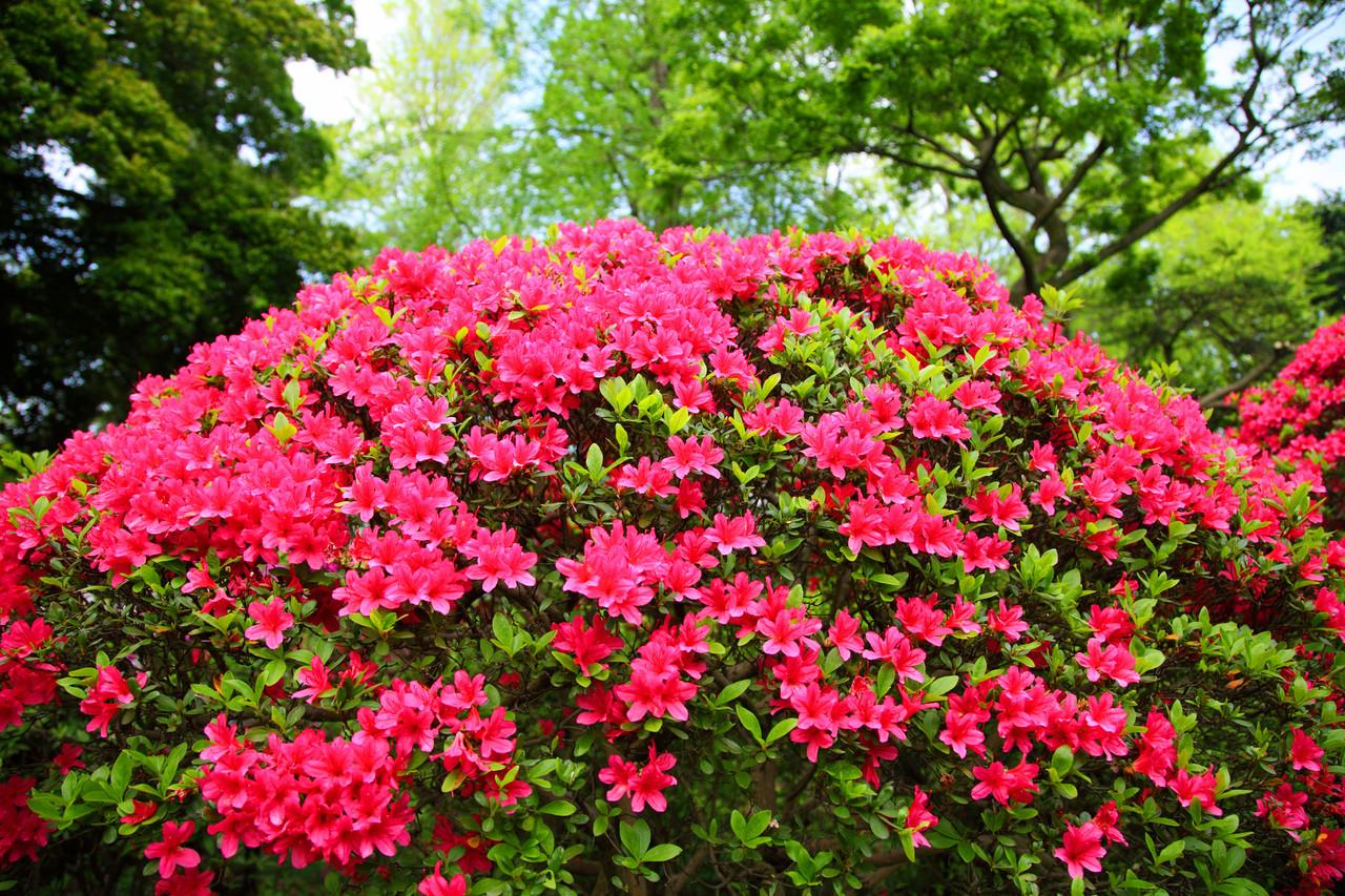 azalea japonica 39 vuyk 39 s scarlet 39 rhododendron 20 30cm