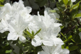 Azalea Japonica White Lady / Rhododendron 20-30cm Tall In 2L Pot