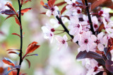 Prunus Cerasifera Nigra / Black Cherry Plum, 4-5ft Tall, Stuning Purple Foliage