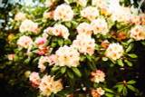 Rhododendron Horizon Monarch,  30-40cm Tall In 5L Pot, Stunning Flowers