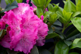 Rhododendron 'Germania' 40-60cm Tall In 5L Pot, Stunning Rose-Red Flowers