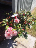 Rhododendron 'Virginia Richards' 30-40cm Tall In 5L Pot, Stunning Flowers