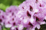 Rhododendron 'Kokardia' 30-40cm Tall In 5L Pot, Stunning Pink/Purple Flowers