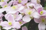 Clematis Montana 'Rubens' In 2L Pot, With Stunning Pale-Pink Flowers