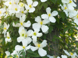 Clematis Montana 'Grandiflora' In 2L Pot, With Stunning White Flowers