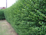 7 Green Privet Hedging Plants Ligustrum Hedge 40-60cm,Dense Evergreen,Big Pots