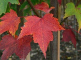 Acer rubrum 'October Glory / Maple 4-5ft Tall,  3L Pot, Stunning Autumn Colours