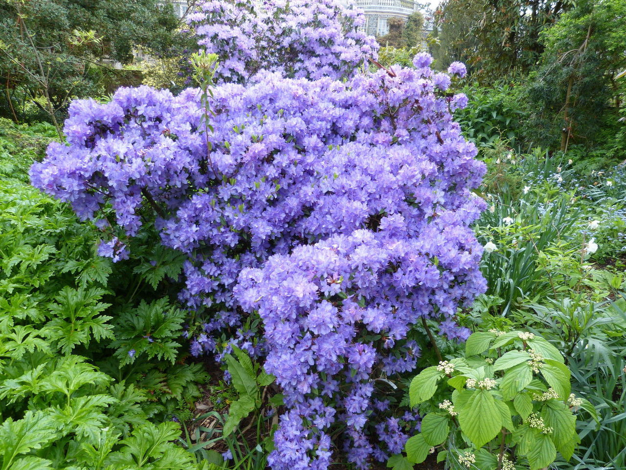 3 Blue Diamond Rhododendron 15 20cm In 2 Litre Pot With Violet