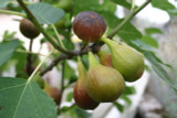 Large Fig Tree 'Brown Turkey' 1.5-2ft Tall in a 5L Pot. Ready to Fruit, Sweet Taste