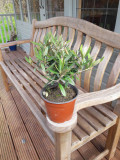 Miniature Standard Olive Tree / Olea Europaea, 20-30cm Tall In 14cm Pot