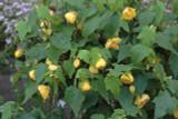 3 Yellow Abutilon Hybridum/ Flowering Maple Shrubs, 30-40cm Tall Plants in 1.5L Pots