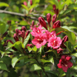3 Weigela Bristol Ruby 30-40cm Tall in 2L Pots, Lovely Bell-shaped Flowers