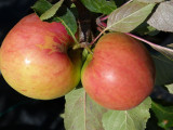 James Grieves Apple Tree 4-5ft in 5L PotReady to  Fruit, Desert & Cooking Apple