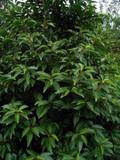 1 Portugal laurel Hedging  Prunus Lusitanica 40-60cm In 2L Pot