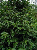 5 Portugal laurel Hedging  Prunus Lusitanica 40-60cm In 2L Pots