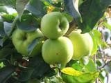 Howgate Wonder Apple Tree 4-5ft In 5L Pot, Juicy & Sweet, Cook & Eat