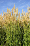 Calamagrostis acutiflora 'Karl Foerster'/ Feather reed-grass 30-40cm Tall, 2L Pot
