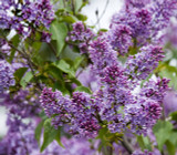 'Sensation' Syringa Vulgaris - Branched Lilac Tree 1ft Tall Shrub in a 2L Pot