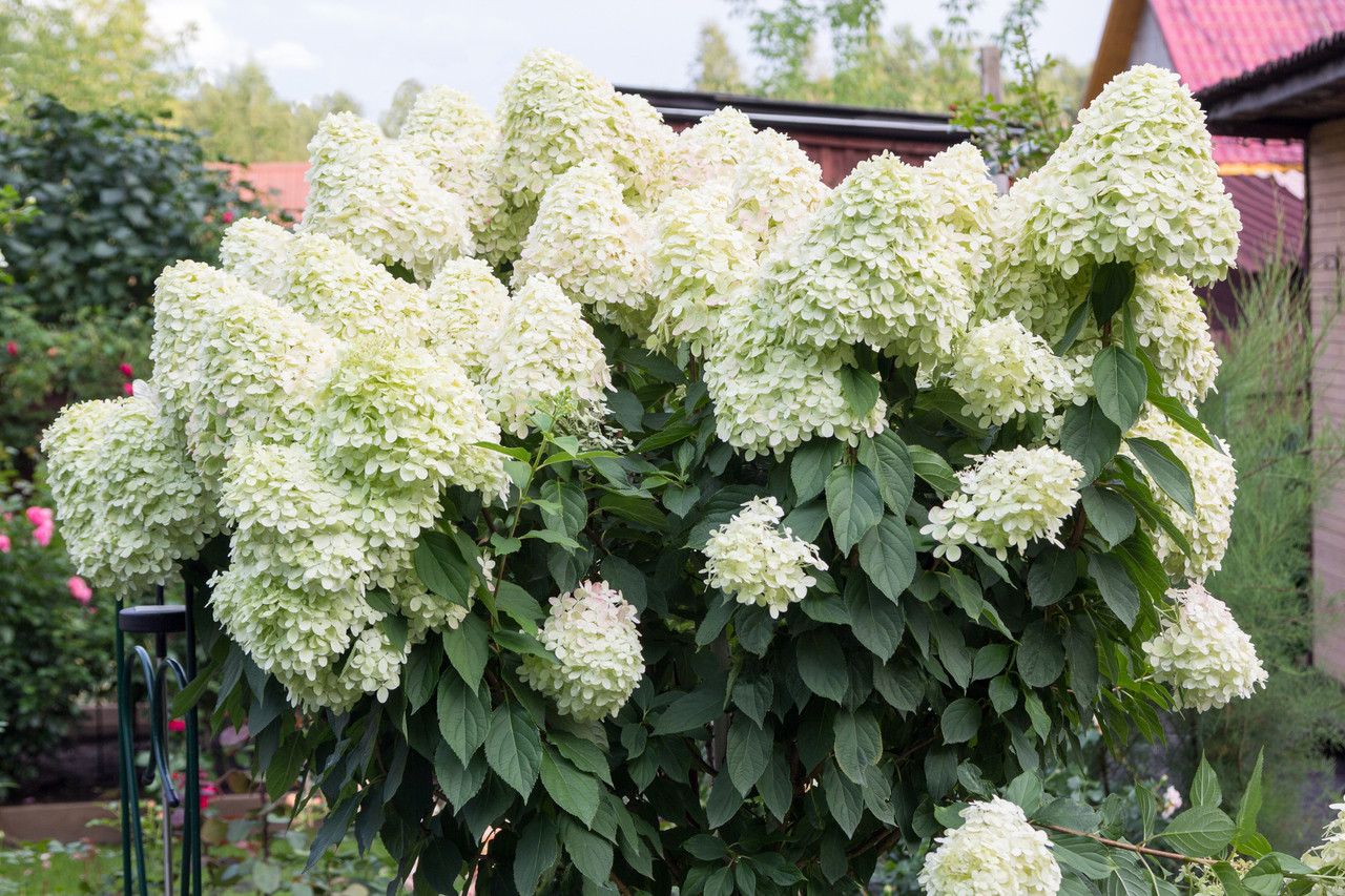 Hydrangea paniculata \'Unique\' In 2L Pot With Stunning Conical ...