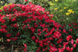 Dwarf Rhododendron Baden Baden 25-30cm Tall In 5L Pot, Stunning Red Flowers