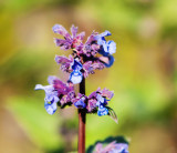 Nepeta grandiflora 'Summer Magic' In 2L Pot, Catmint, Purple-Blue Flowers