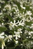 Trachelospermum Jasminoides / Star Jasmine 20-30cm in 2L Pot, Pure White Fragrant Flowers