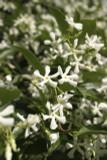 3 Star Jasmine / Trach Jasminoides 20-30cm in 2L Pots, Pure White Fragrant Flowers