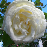 Paul's Lemon Pillar Rose, In 4L Pot, Beautiful, Scented, Large Creamy White Flowers