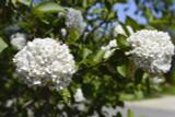 Viburnum Burkwoodii / Burkwood Viburnum 30-40cm Tall in 2L Pot, White to Pale Pink Flowers