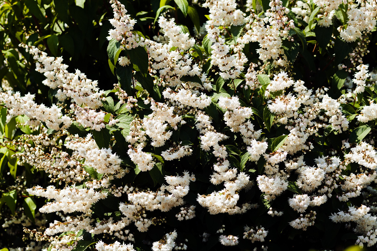 Deutzia scabra fuzzy deutzia 1 2ft tall in 2l pot with showy with showy white flowers image 1 mightylinksfo