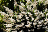 Deutzia Scabra / Fuzzy Deutzia, 1-2ft Tall In 2L Pot, With Showy White Flowers