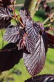 Corylus maxima 'Purpurea' / Purple-leaved Filbert, 3ft Tal In 3L Pot, Strong Hazelnut Plant