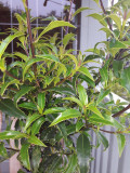 Ilex Myrtifolia / Myrtle Holly 20-30CM In 2L Pot, Narrow Glossy Leaves