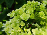 Hydrangea paniculata 'Limelight' In 2L Pot With Stunning Conical Flowers