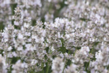 1 x Bushy Lavender 'Hidcote White'/ Lavandula angustifolia 'Hidcote' in 2L Pot