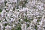 10 x Bushy Lavender 'Hidcote White'/ Lavandula angustifolia 'Hidcote' in 2L Pots
