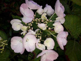 Hydrangea  Macrophylla  You & Me Forever 30cm Tall In 2L Pot With Stunning Flowers