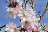 Prunus Autumnalis Rosea /Winter-Flowering Cherry,4-5ft Tall In 5L Pot, Semi-Double Flowers