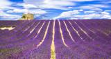 3 x Bushy Lavender / Lavandula angustifolia 'Hidcote' Plants In 2L Pots