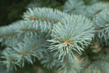 1 Blue Colorado Spruce Super Blue, Picea Pungens, 15-20cm Tall In 9cm Pot